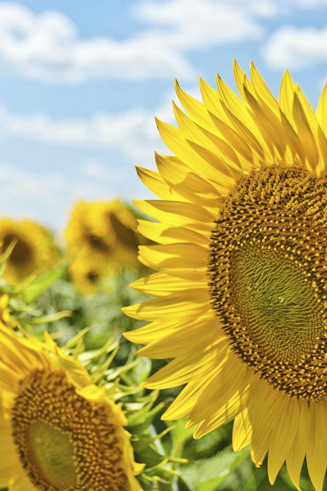 Blühende Sonnenblumen auf Acker
